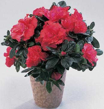 Комнатные растения и прекрасная Азалия в интернет-магазине Plant-Palace.ru