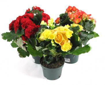 Комнатные растения Бегония их королева  в интернет-магазине Plant-Palace.ru