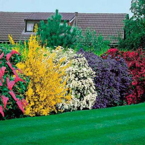 Декоративные кустарники для ландшафта купить в интернет-магазине Plant-Palace.ru
