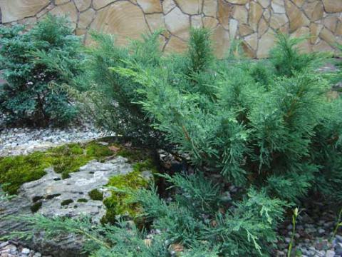Хвойные растения можжевельники купить в интернет магазине Plant Palace.ru