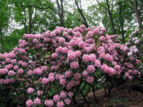 Растения для ландшафта  и рододендроны их главное укра  в интернет-магазине Plant-Palace.ru