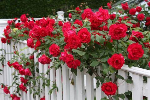Садовые розы купить в интернет-магазине Plant-Palace.ru