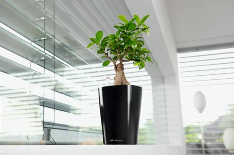 Комнатные растения Адениумы в кашпо Lechuza в интернет-магазине Plant-Palace.ru