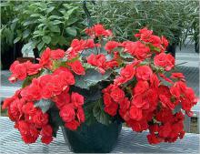 Комнатные растения бегония купить в интернет магазине Plant Palacе/ru