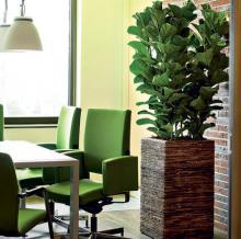 Комнатные растения фикусы купить в интернет магазине Plant Palace.ru